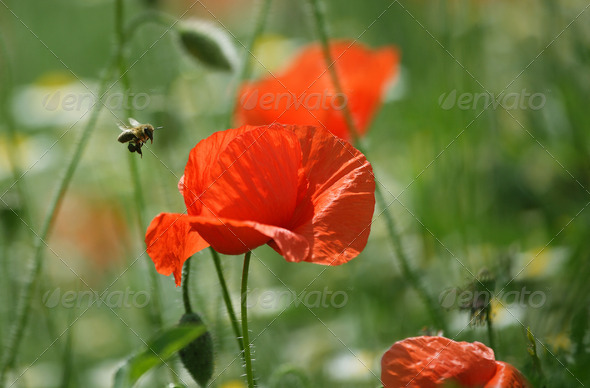 Bee and poppy flower - Stock Photo - Images