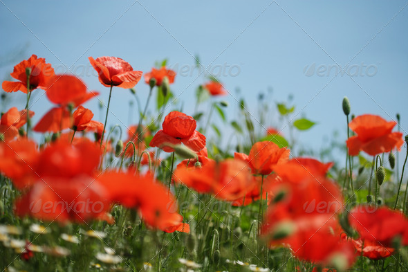 Poppy field - Stock Photo - Images