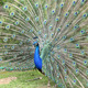 Indian Peafowl, pavo cristatus - PhotoDune Item for Sale