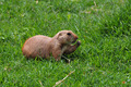 prairie dog rodent eating grass - PhotoDune Item for Sale