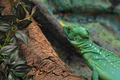green plumed basilisk - PhotoDune Item for Sale