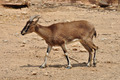 cretan wild goat - PhotoDune Item for Sale