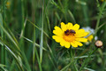 bee and red mites on wild flower - PhotoDune Item for Sale