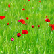 Red poppys in wheat field - PhotoDune Item for Sale