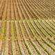 Beautiful rows of young grapes in the countryside - PhotoDune Item for Sale