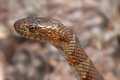 Northern Watersnake - PhotoDune Item for Sale