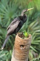 Anhinga - PhotoDune Item for Sale