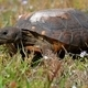 Gopher Tortoise - PhotoDune Item for Sale