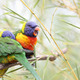 Rainbow lorikeet, trichoglossus haematodus - PhotoDune Item for Sale