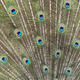 Feathers of peacock - PhotoDune Item for Sale