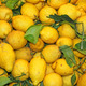 wallpapers of ripe lemons from Sicily yellow excellent to make l - PhotoDune Item for Sale