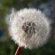 Dandelion in Wind 1 - VideoHive Item for Sale