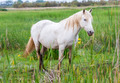 white arabian horses - PhotoDune Item for Sale