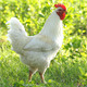White Rooster - VideoHive Item for Sale