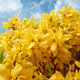 Blooming forthysia in spring against blue sky - PhotoDune Item for Sale
