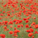 Red Poppies - VideoHive Item for Sale