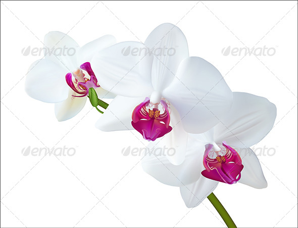 GraphicRiver White Orchid 4732300