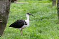 Straw-necked Ibis, Threskiornis spinicollis - PhotoDune Item for Sale
