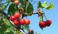 Cherries on a Tree - PhotoDune Item for Sale