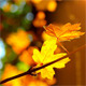 Autumn Foliage - VideoHive Item for Sale