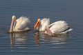 White Pelicans - PhotoDune Item for Sale