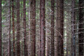 trunks of conifer trees - PhotoDune Item for Sale