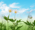 wood anemone flowers on blue sky - PhotoDune Item for Sale