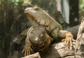 Iguana in the zoo open, Thailand - PhotoDune Item for Sale