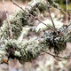 Reindeer moss on a willow tree, - PhotoDune Item for Sale