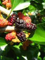 Branch of ripe mulberry - PhotoDune Item for Sale