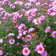 flowers of pinkbeautiful aster - PhotoDune Item for Sale