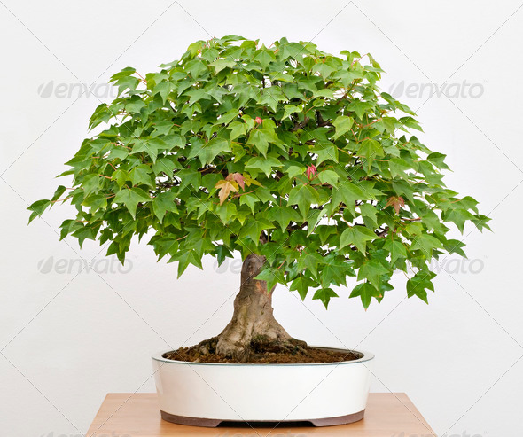 Maple Bonsai - Stock Photo - Images