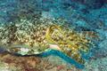 Cuttlefish underwater - PhotoDune Item for Sale
