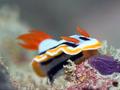 Nudibranch underwater. - PhotoDune Item for Sale