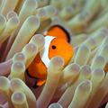 Tropical fish Clownfish - PhotoDune Item for Sale