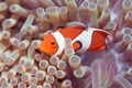 Anemone and Clown-fish - PhotoDune Item for Sale