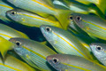 Yellow-fins Goat-fishes - PhotoDune Item for Sale