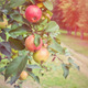 Apples on the tree - PhotoDune Item for Sale