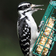 Hairy Woodpecker - PhotoDune Item for Sale