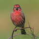 House Finch - PhotoDune Item for Sale