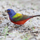 Painted Bunting - PhotoDune Item for Sale