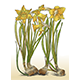 Color Illustration of Daffodils with Bulbs Vector - GraphicRiver Item for Sale