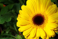 Gerbera Yellow Flower - PhotoDune Item for Sale