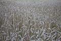 Wheat field on swedish farm - PhotoDune Item for Sale