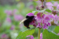 Bumble bee in a nettle flower - PhotoDune Item for Sale