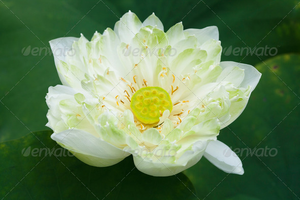 Close up of blossom Lotus - Stock Photo - Images
