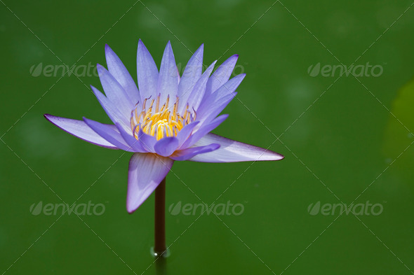 Blossom Purple Lotus - Stock Photo - Images