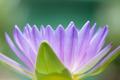 Blossom Purple Lotus - PhotoDune Item for Sale