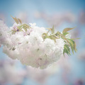 White Japanese Sakura Blossoms - PhotoDune Item for Sale