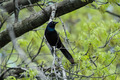 Grackle - PhotoDune Item for Sale